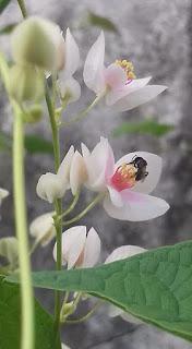 Trigona atau klanceng (kelulut/kele-kele) sedang mengambil nektar pada bunga Air Mata Pengantin.