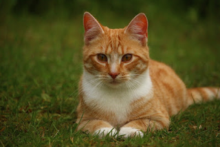 Google Image - Contoh Descriptive Text tentang Cat (kucing)