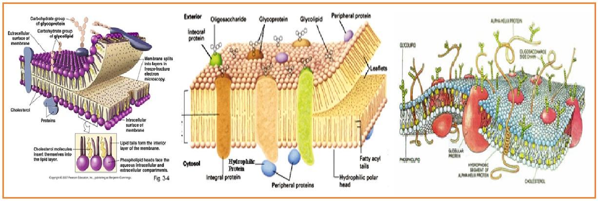 Biologi gonzaga membran plasma struktur membran sel ccuart Choice Image