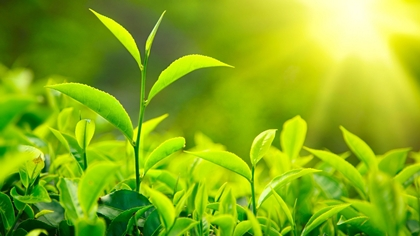 ชาเขียว (Green Tea) @ www.youthfulninja.com
