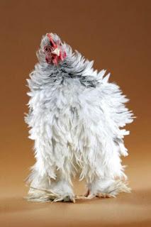Cara Budidaya Ternak Ayam Cochin Walik