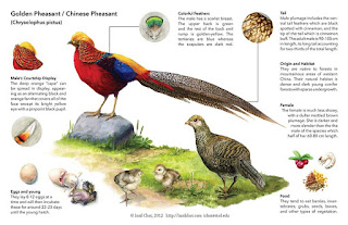 Cara Budidaya Ternak Ayam Golden Pheasant