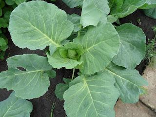 Капуста быстро наращивает зеленую массу