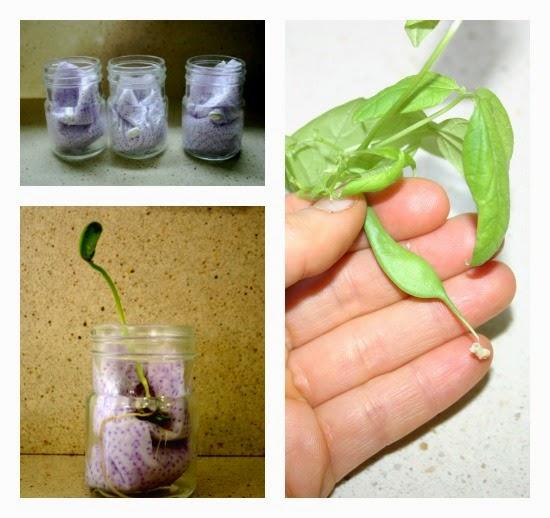 plantamos semilla ciclo vida planta