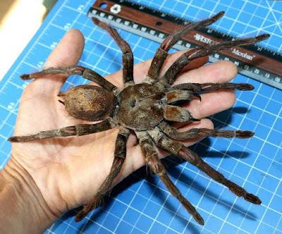A surpreendente Aranha Golias