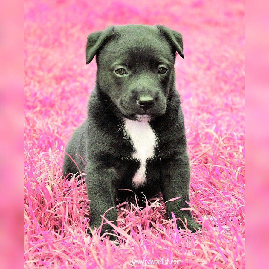 Cute black and white  puppy sitting in pink grass