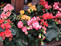 Begonia plants in full bloom