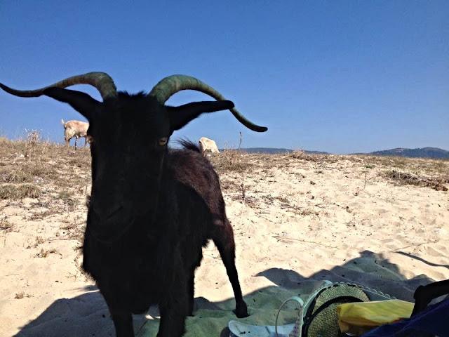 Wild Black goat - Drenia islands - Ouranoupolis - Chalkidiki - Greece