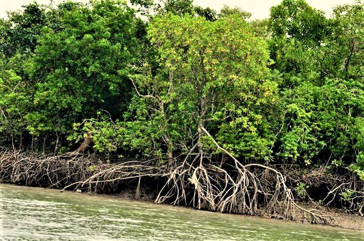 Sundari tree
