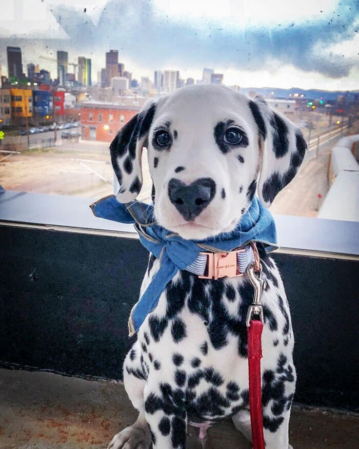 Meet Wiley, The Cutest Dalmatian Dog With A Heart On His Nose