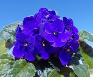 Фиалка - цветок, соответствующий имени Нина