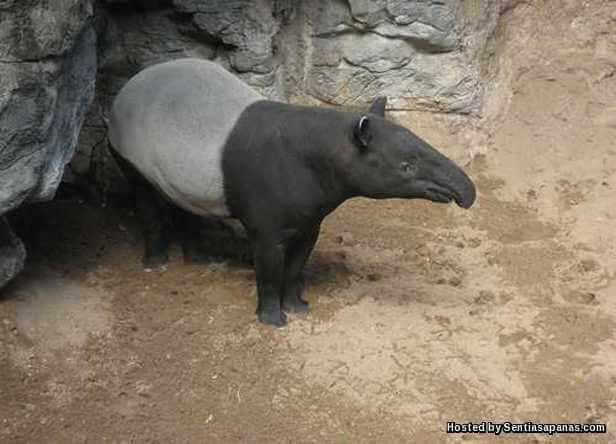 Tapir Malayan