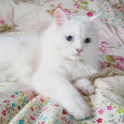 white Persian pedigree cat