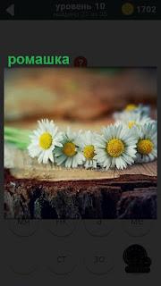 На круглом пне лежит венок из ромашки, сделан из свежих цветов