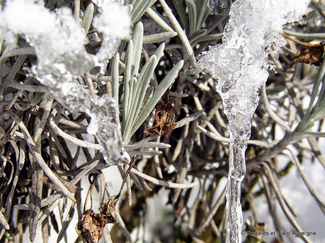 plantes glacées