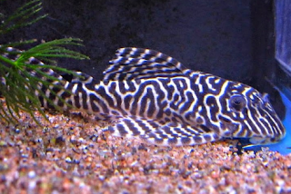 Ikan Sapu-Sapu Hias Royal Pleco