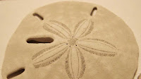 Sand Dollar animal pictures_Clypeasteroida