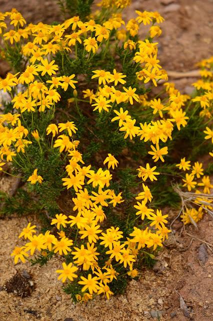 chrysactinia mexicana, damianita, amy myers, small sunny garden, desert garden,