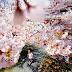 Един кадър от Япония. Времето на цъфтящите вишни