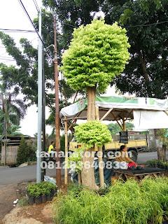 Cara merawat bonsai anting putri