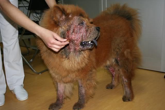 pet shops  Ácaros em Cães Sintomas e Tratamentos