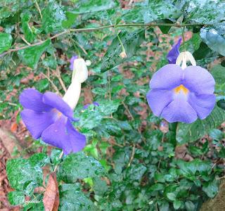 blue trumpet vine, Thunbergia grandiflora