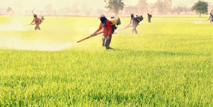 rice fields being sprayed