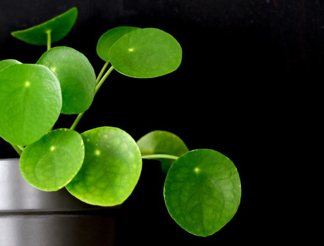 Urban Jungle Bloggers, Botanical Zoom, Minza will Sommer, Zimmerpflanzen Trend, Interiorblog, Wohnen mit Pflanzen, mit Pflanzen dekorieren, Pilea