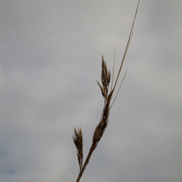 Reed against grey sky.