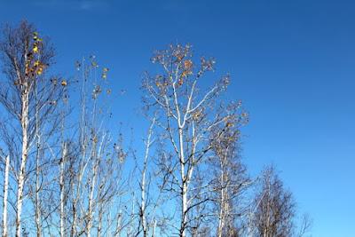bare aspen branches