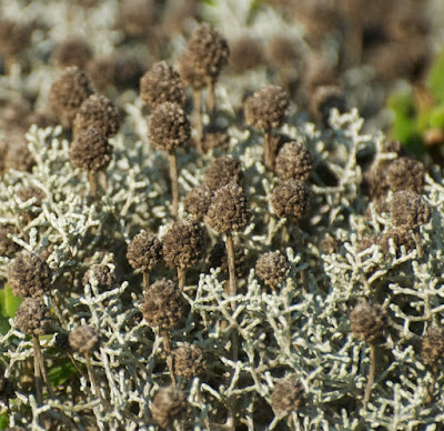 Coast Cushion Bush (Leucophyta browni)