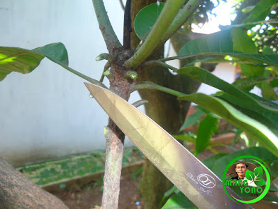 Foto 4. Batang bawah daunnya dibersihkan