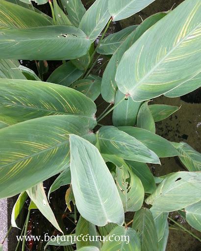 Thalia dealbata, Powdery Thalia leaves