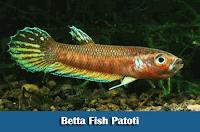 Mengenal Jenis-Jenis Ikan Cupang Liar