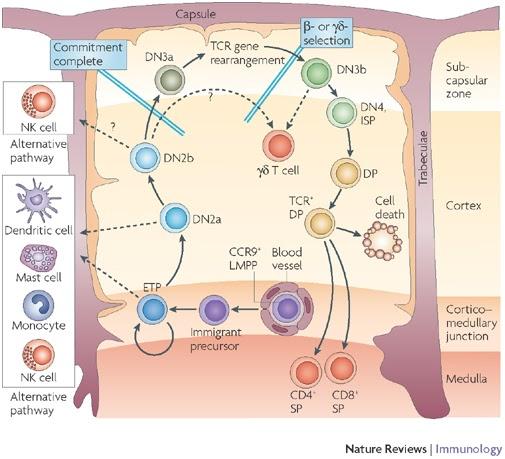 Immunity: Thymus-Primary