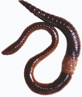 Nemathelminthes biologi kelas x - eroszakmentes.hu, Nemathelminthes biológiai gonzaga