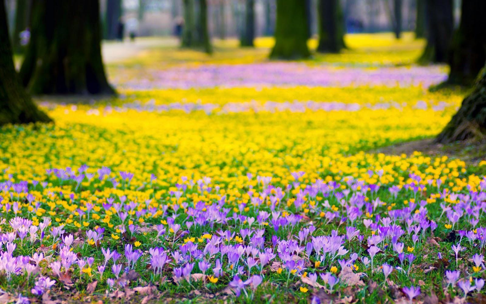 Gele en paarse krokussen in het wild