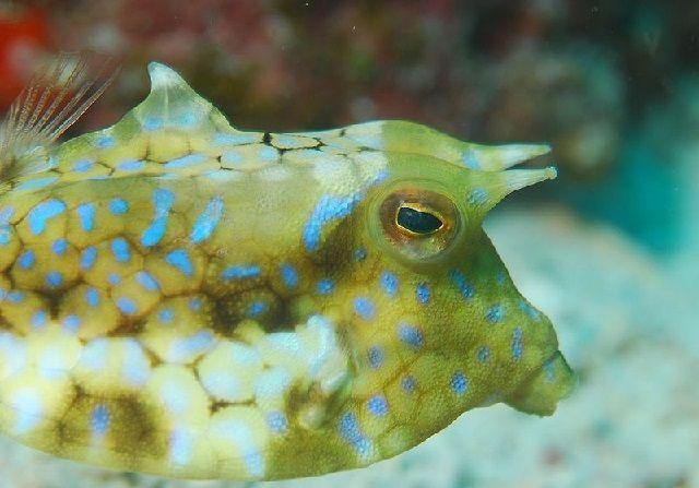 Gambar Ikan Buntal