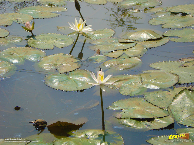 White water lilies and their leaves in the pond