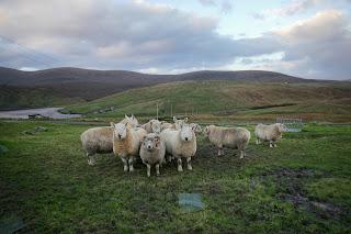 Shetlandbock Cheviotbock