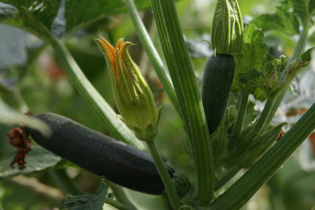 Mystery of how this zuchini became pollinated.