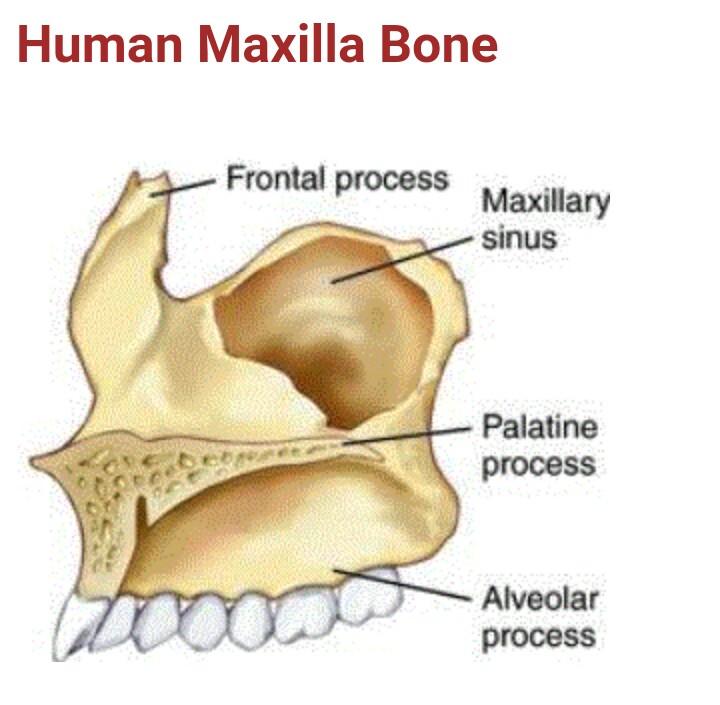 Maxillary Bone Human maxilla Bone - B...