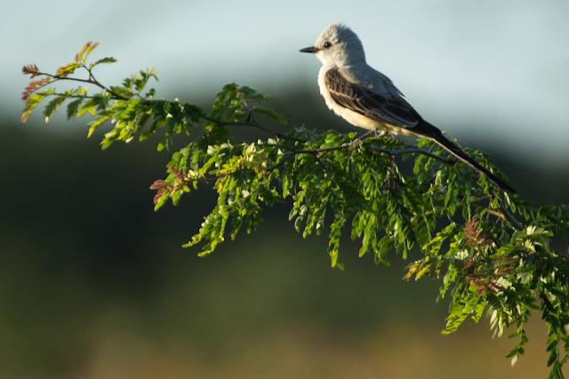Western Kingbird, Murrell Park