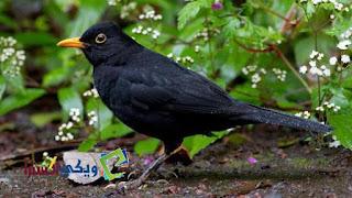 من الطيور ومعروف بصوته العذب