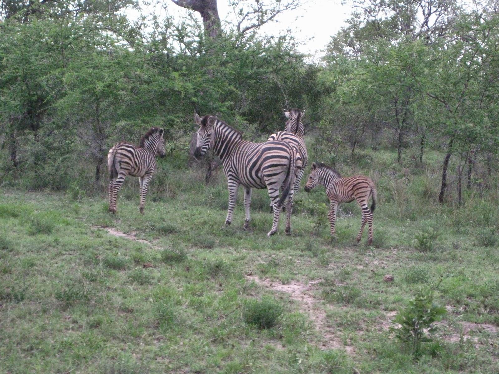 Sabi Sands - Baby zebra