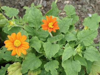 Tithonia rotundifolia 'Fiesta Del Sol'