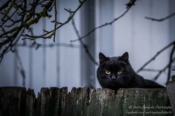 latvia cat
