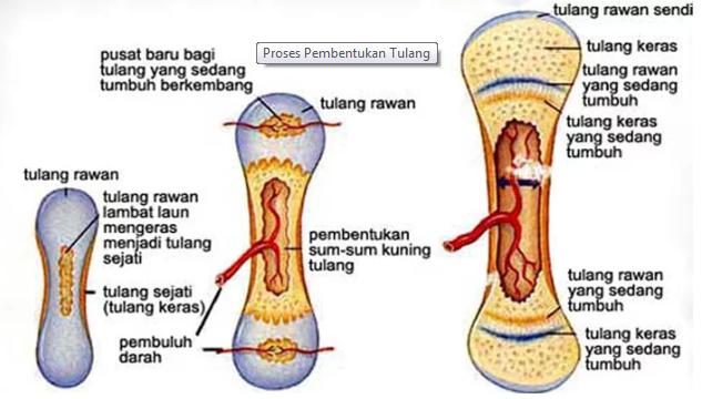 Proses Pembentukan Tulang (Osifikasi) Pada Manusia Secara Lengkap
