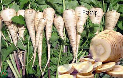 parsnip; parsnip vegetable