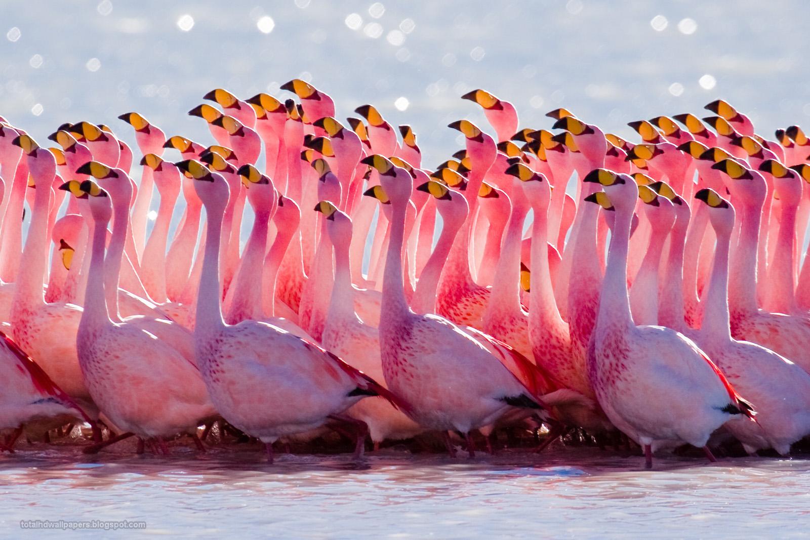 Tops Wallpaper Hd Flamingo Wallpapers Hd